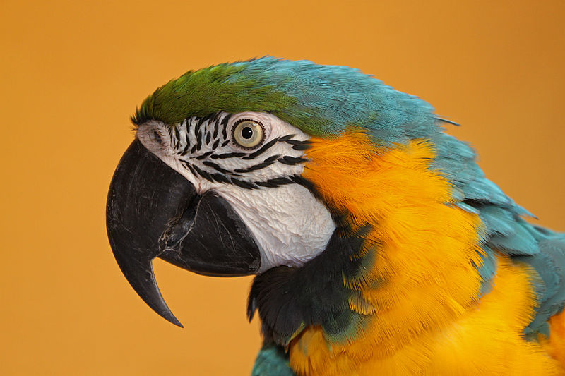 Blue and yellow macaw by H. Zell / Wikimedia