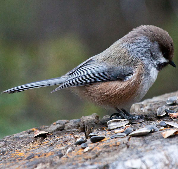 Boreal Chickadee, photo by David Mitchell via Wiki Commons.
