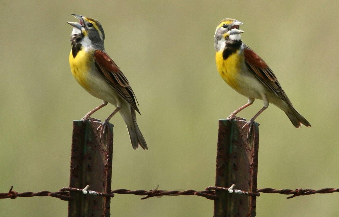 Singing dickcissels, photo by Patti McNeal from Katy, TX, USA /  Wikimedia