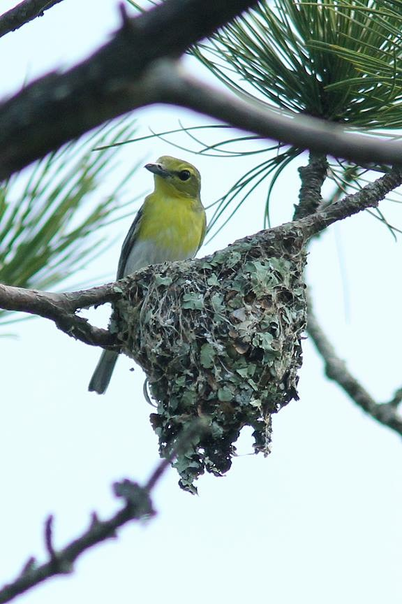 Vireo nesting by Marie Rust