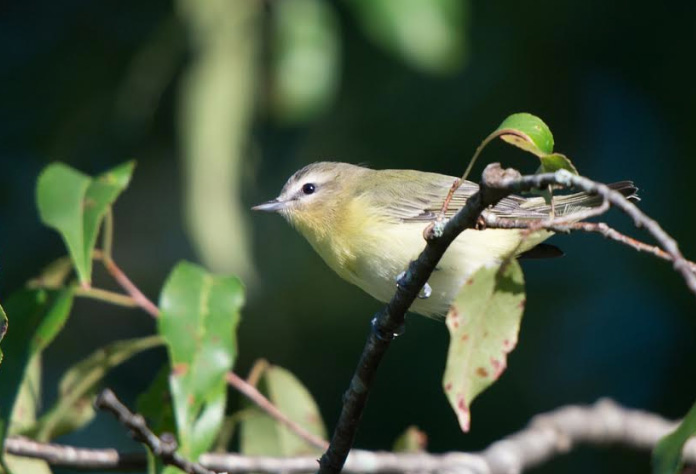 The Philadelphia vireo is one of those fringe species barely on the radar of casual birders. Its obscurity and the fact that it mimics its larger and louder red-eyed cousin is advantageous. Photo by M. Williamson.