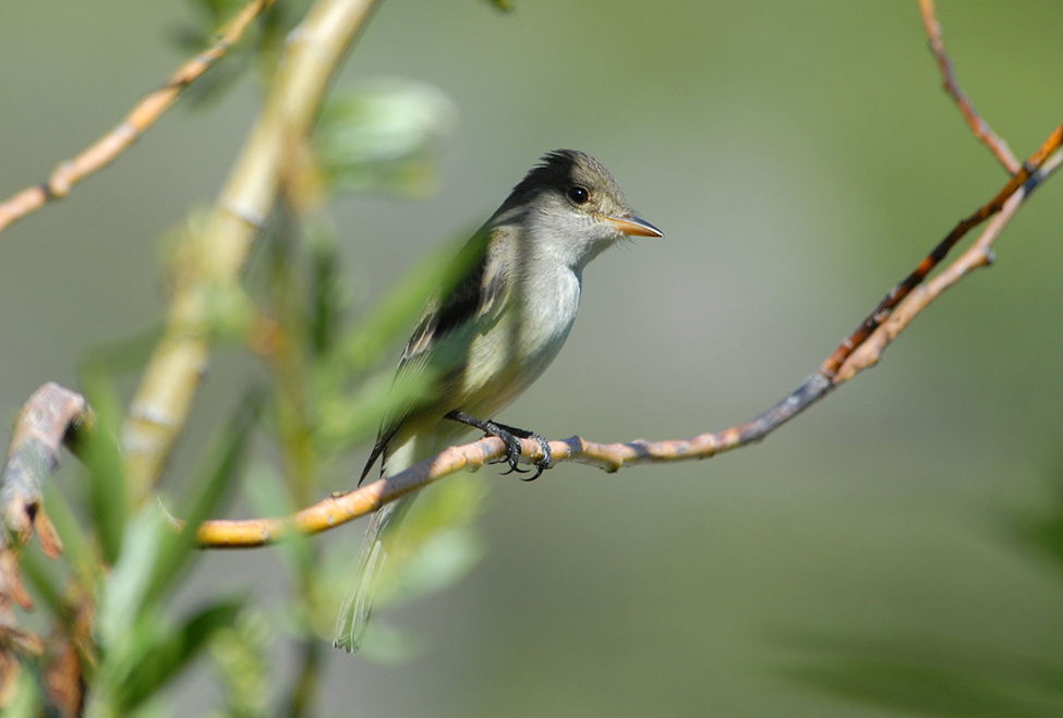 Willow flycatcher photo by Dave Menke / Wikimedia