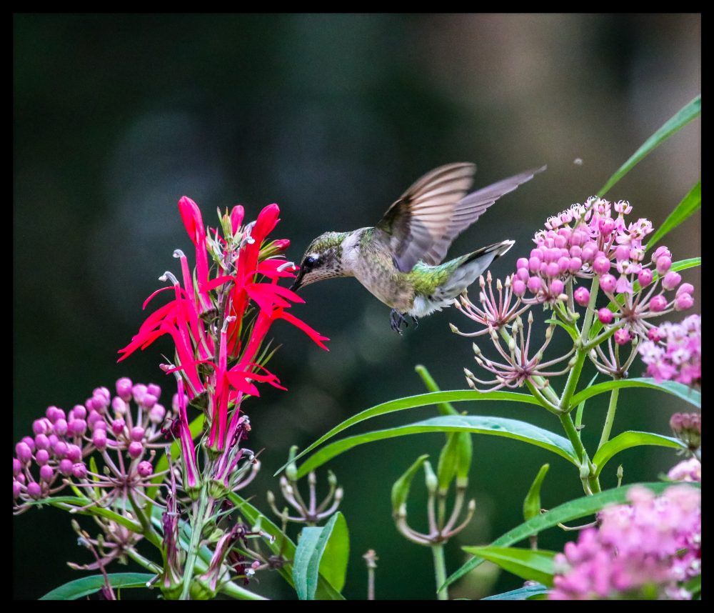 Ruby-throated Hummingbird in Home Native Pollinator Garden by Marian R. Fisher