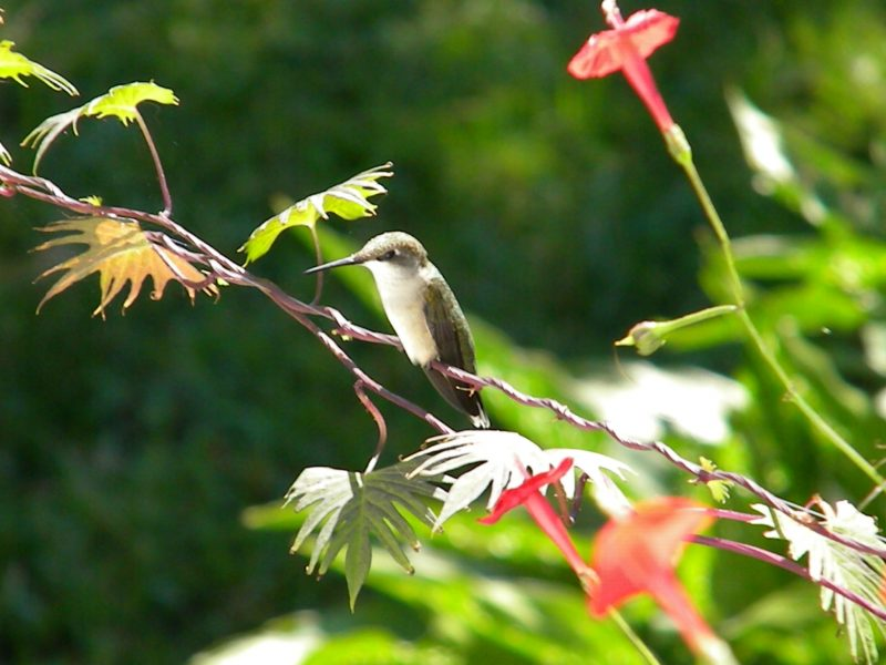 Ruby-throated Hummingbird by William Taylor