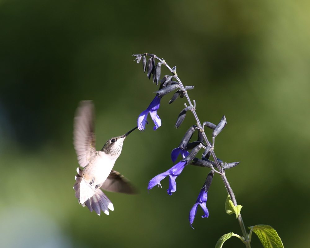 Tasty Salvia by Connie Etter
