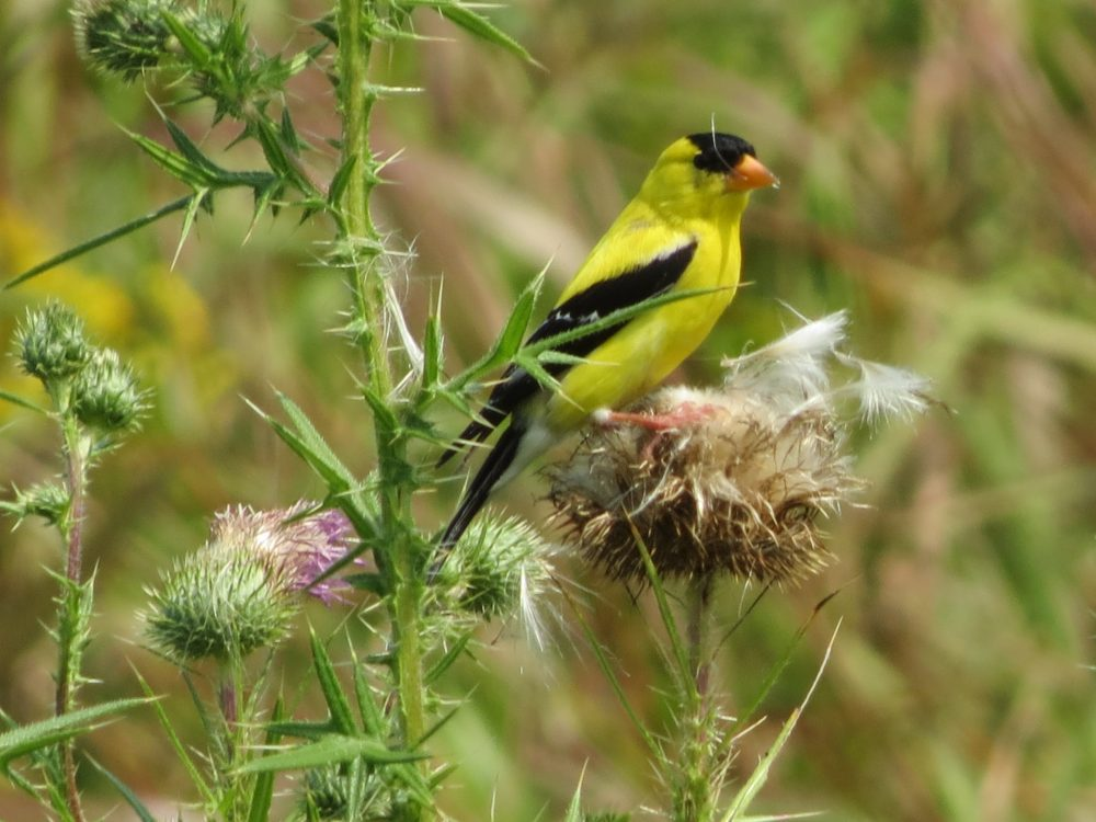 Goldfinch on Thistle by Walt Webb