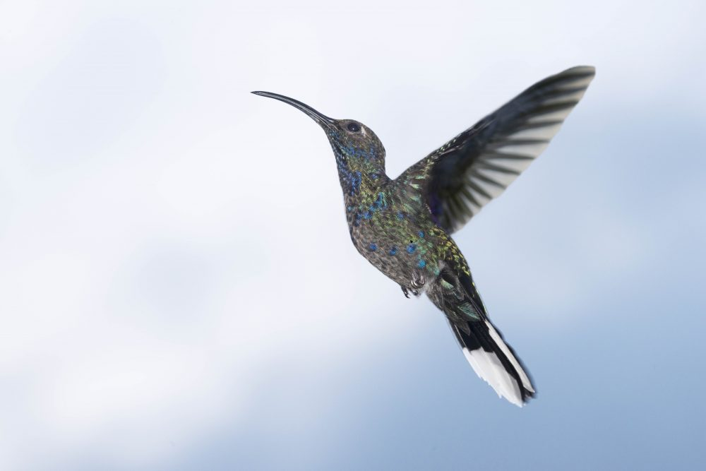 Violet Sabrewing (Campylopterus hemileucurus) in Flight by Jim Nelson