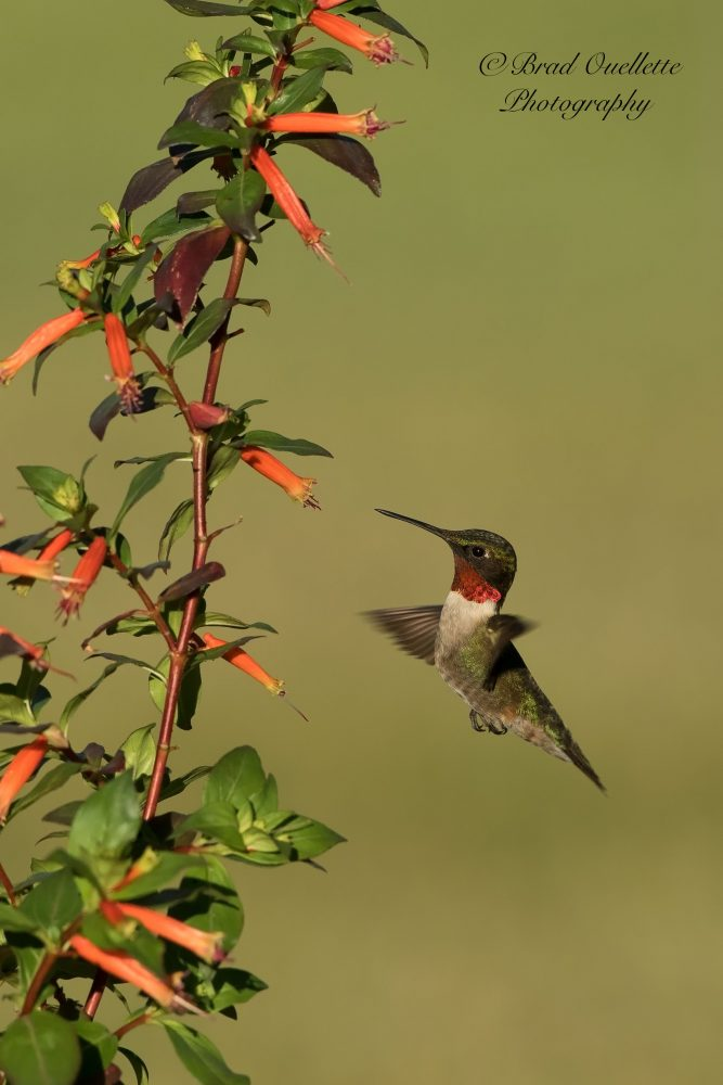 Ruby-throated hummingbird by Brad Ouellette