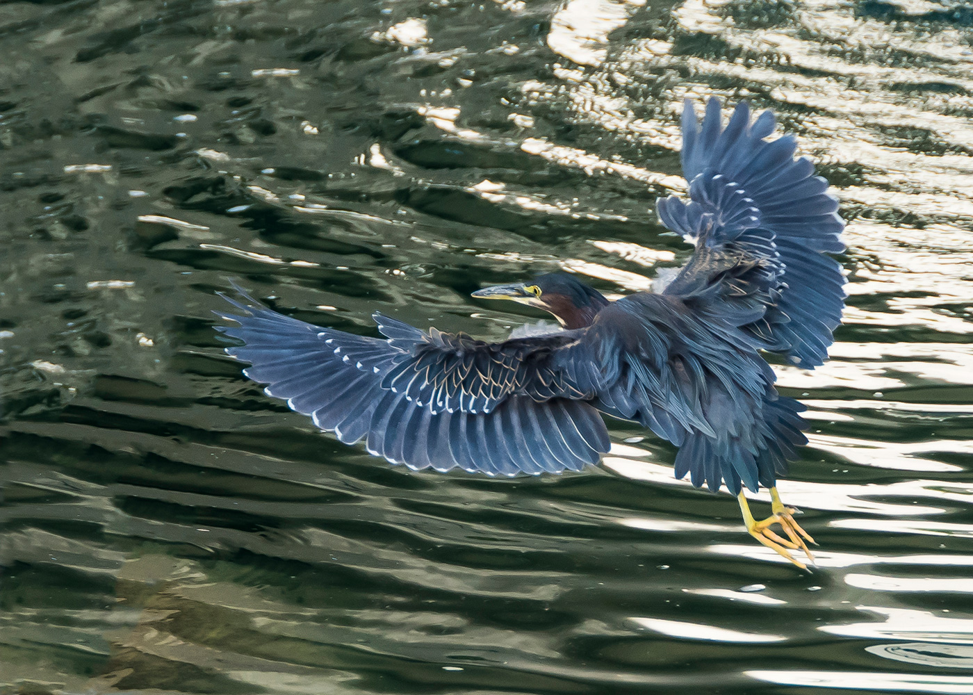 Green Heron (Butorides virescens) on an Early Morning Fishing Run by Jim Nelson