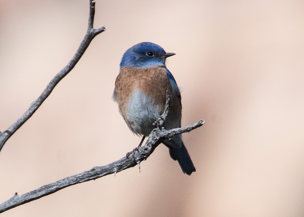 Western Bluebird (Sialia mexicana) Hanging Out by Jim Nelson