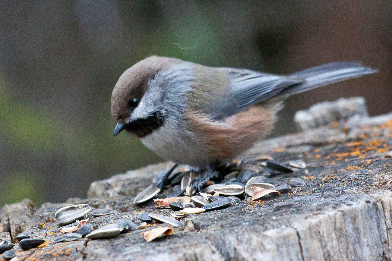 Boreal chickadee. Photo by David Mitchell / Wikimedia.