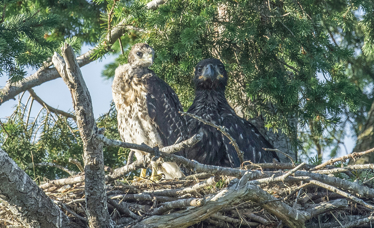 While no one is quite sure how it happened, a tiny red-tailed hawk turned up in a bald eagle nest in British Columbia. BWD columnist David Bird lives nearby and witnessed this remarkable adoption.