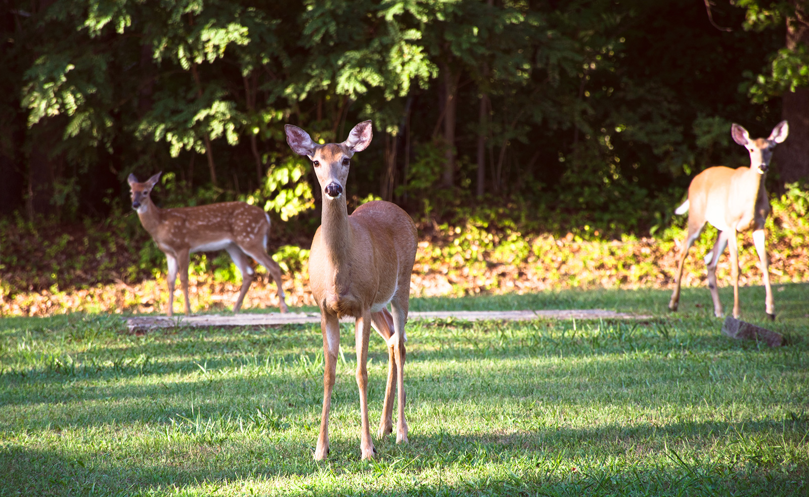 They might appear doe-eyed and vulnerable, but deer have been caught on camera foraging in bird nests, and even going after songbirds on the ground. Bambi is a predator. Photo by John M. / Wikimedia.