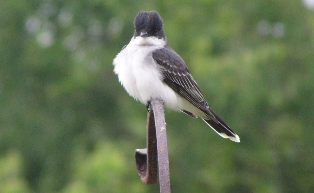 From novices to experts, all birders muff an ID now and then, and such mistakes can be a useful learning tool. Getting it wrong can sharpen your birding skills. Eastern kingbird photo by B. Thompson, III.