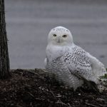 A snowy owl in Marietta, Ohio, is gaining a lot of attention from local birders! Read about the sighting on the blog of Julie Zickefoose, an author, blogger, naturalist, and famous BWD contributor. Photo by Julie Zickefoose.