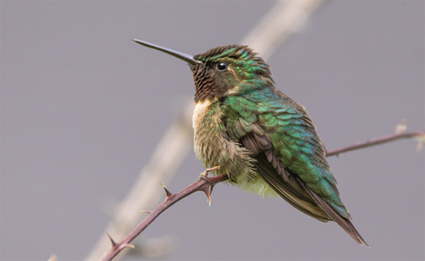 Every fall and winter, western hummingbird species turn up in the East. Columnist Scott Weidensaul, a licensed hummingbird bander, reflects on this phenomenon.