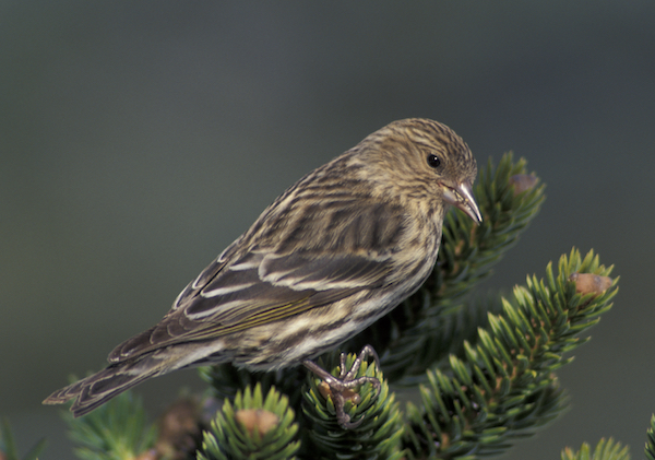 Pine Siskin photo by Brian Henry