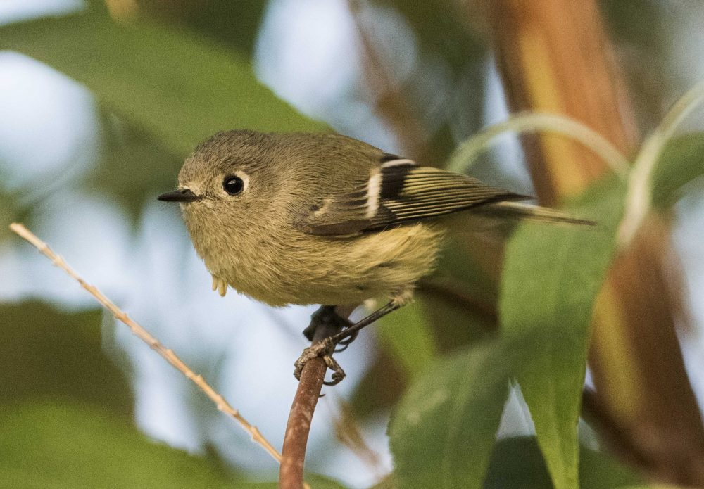 Ruby-Crowned Kinglet (Regulus calendula) by Jim Nelson