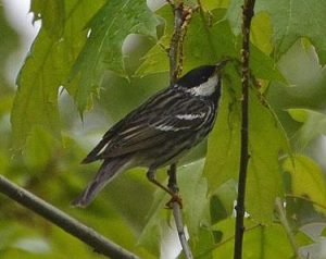 Blackpoll Warbler photo by A. Reago and C. Mclarren / Wikimedia