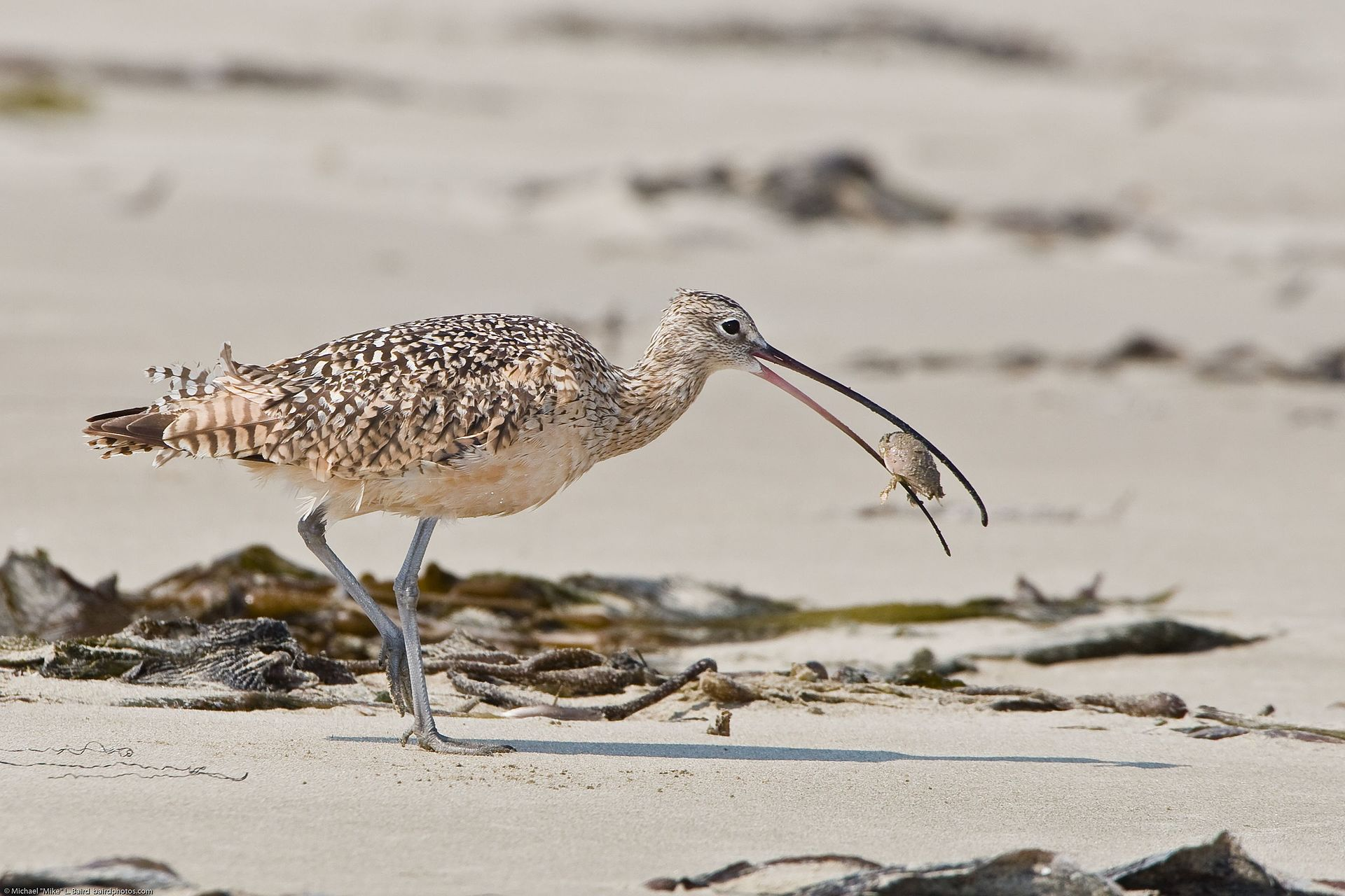 Long-billed Curlew eating a sand crab. Photo by M. L. Baird / Wikimedia.