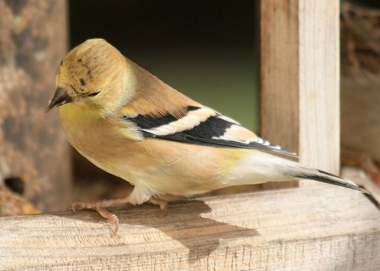 American goldfinch, winter plumage. Photo by Oregon Fish and Wildlife Service / Wikimedia.