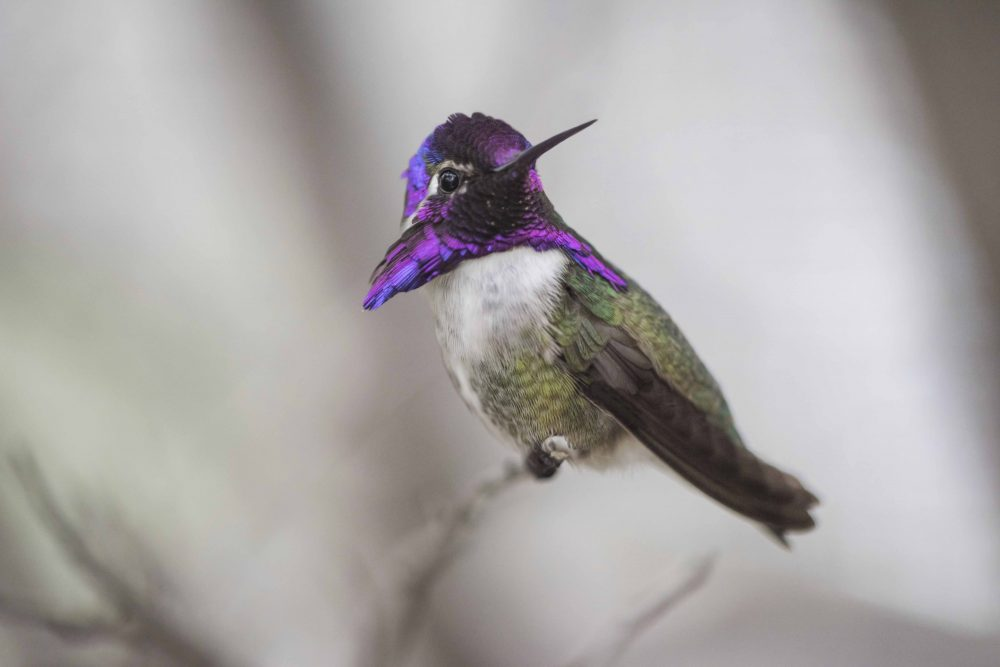 Costa's Hummingbird Showing its Colors by Jim