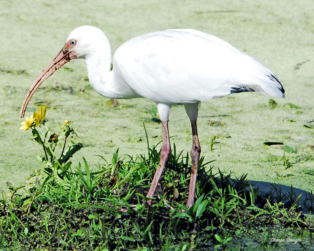 White Ibis by Sharon Stangle