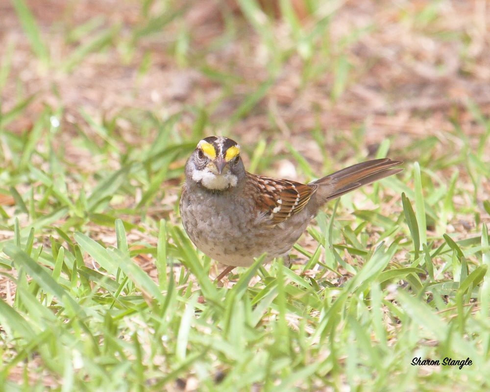 White-throated Sparrow by Sharon Stangle
