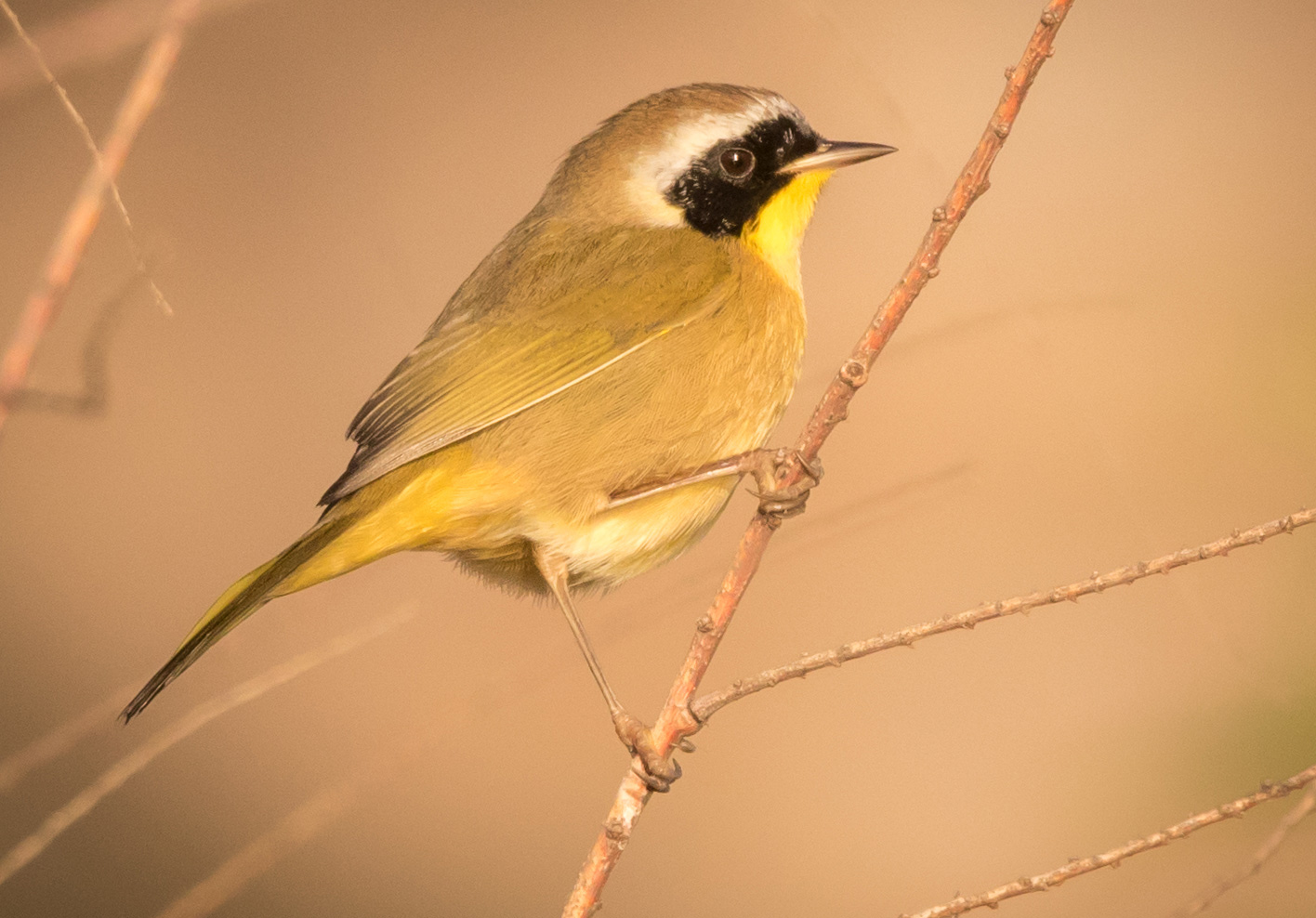 Common Yellowthroat taken at Olompali State Historic Park. Photo by KS Nature Photography ©