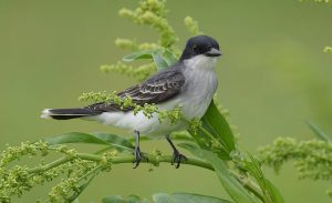 Eastern kingbird, photo by Andy Reago and Chrissy McClarren Wikimedia.