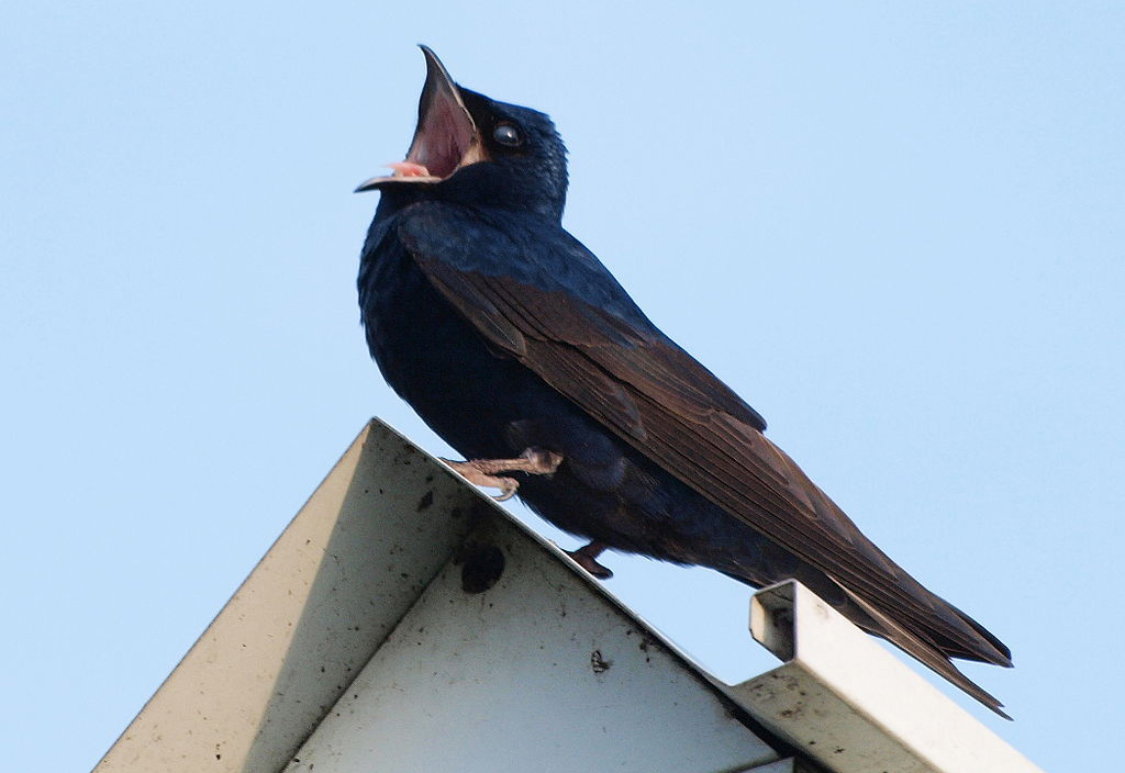 Purple martin photo by S. Bharwaj / Wikimedia.