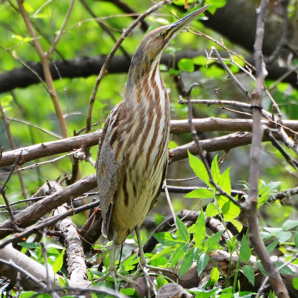 American bittern, photo by Andy Reago and Chrissy McClaren via Wiki Commons