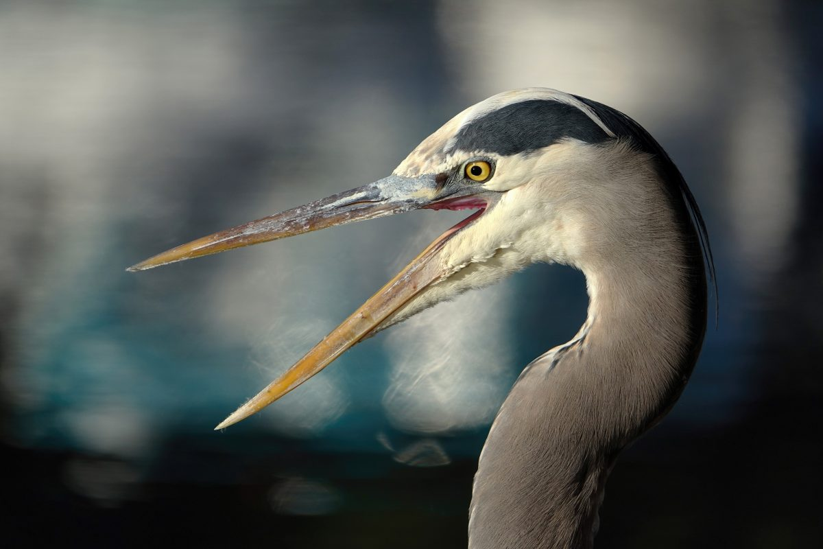 Great Blue Heron by Tony Britton