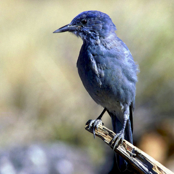 Pinyon Jay, photo by Chris Batonahorse via Wikimedia Commons