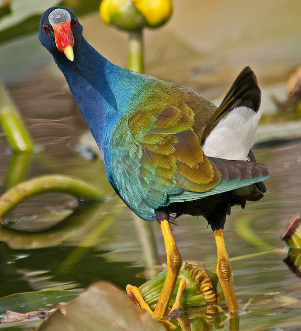 Purple gallinule, photo by Brian Samuel, USFWS