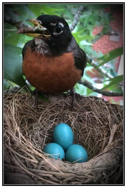 American robin mother with nestlings by Kristopher Gardner