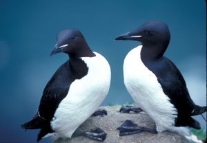 Thick-billed Murres by USFWS / Wikimedia.