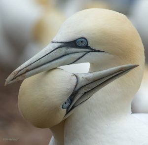 Northern gannets. Photo by Charles Gangas.