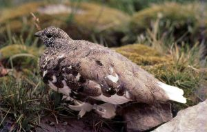 White-tailed ptarmigan by John Hill / Wikimedia.