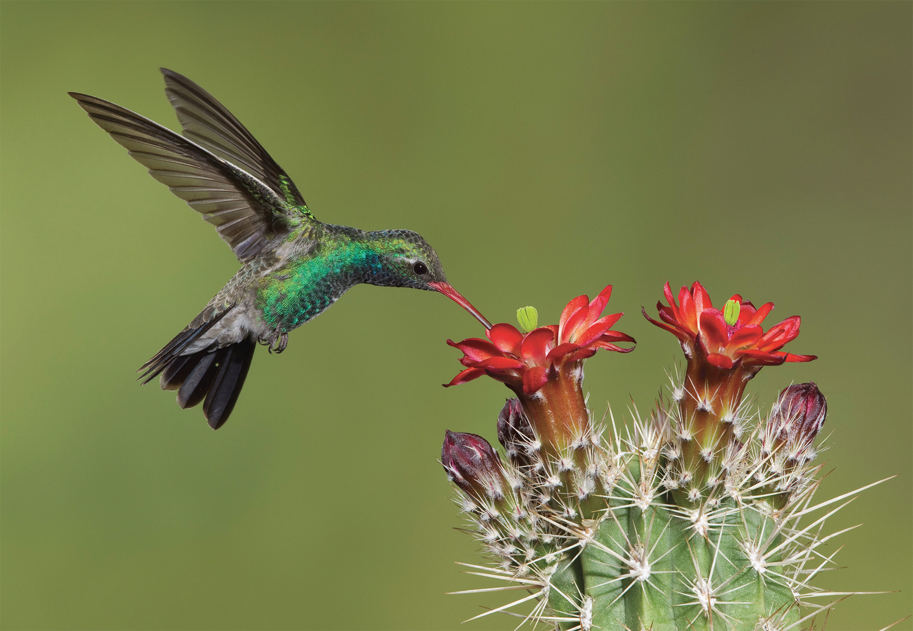 Broad-billed hummingbird (male) by Charles Melton.
