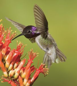 A male Costa's hummingbird sips from the flower of an ocotillo.