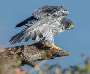 Peregrine falcon at Cape May, New Jersey. Photo by Shutterstock.
