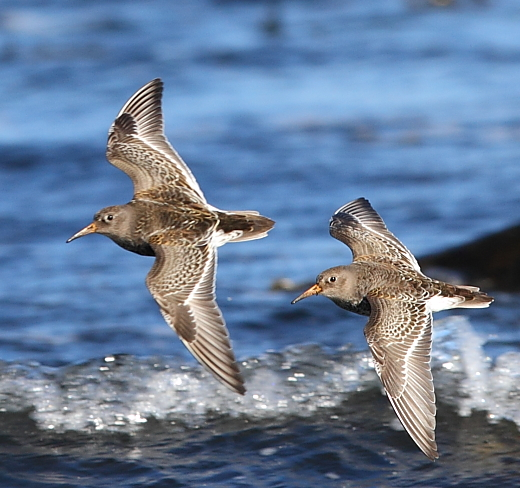 Purple sandpipers. Photo by Marton Berntsen / Wikimedia.