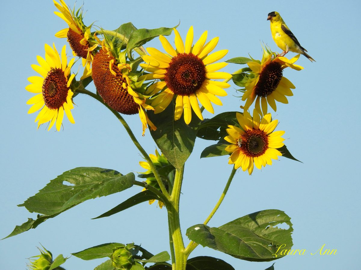 American Goldfinch on Sunflowers by Laura Ann