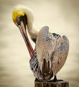 Brown pelican. Photo by Mike Blevins