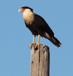 Crested Caracara. Photo by Michael Todd