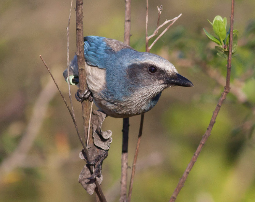 Florida scrub-jay. Photo by Michael Todd