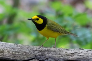 Hooded Warbler. Photo by Michael Todd