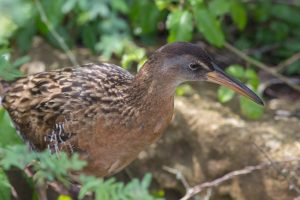 King rail. Photo by Michael Todd