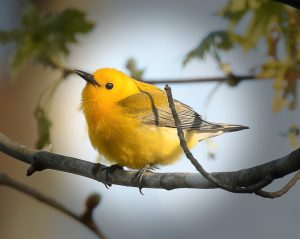 Prothonotary warbler. Photo by Mike Blevins.